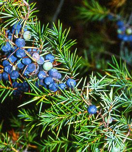 juniperus1